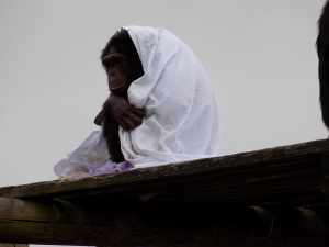 monkey in the rain with blanket